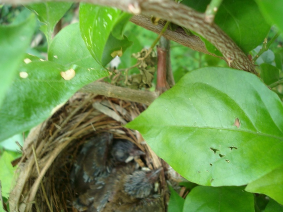 Baby birds. Spotted by my dad in the garden on my birthday last year. Clearly the highlight of his day.
